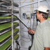 Watering trays of barley sprouts