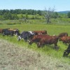 Van Amburgh heifers and dry cows