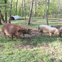 Pigs graze in the woods