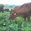 Cows graze on the Van Amburgh farm
