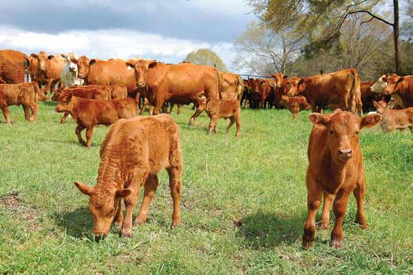 Red Angus cows and calves