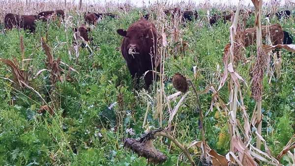 Fall-weaned calves gain well on complex cover seedings.