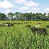 Beef cattle in cover crop pasture