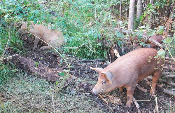 Pigs in brush